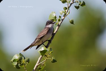 .: Kingbird on a Branch :. by jon-rista