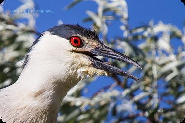.: Night Heron Portrait :. by jon-rista