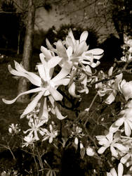 White Blossom by Lisa-Downing