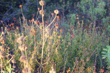 California flowers by yury-n