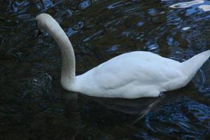 Camera Shy Swan by Hero-Ritsuka