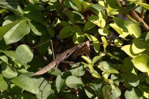 Minersville praying mantis by Hero-Ritsuka