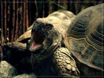 Turtle screaming