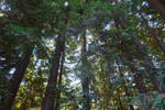 Pine Trees' Canopy by Trisaw1