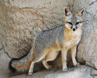 Proud Grey Fox by Jack-13