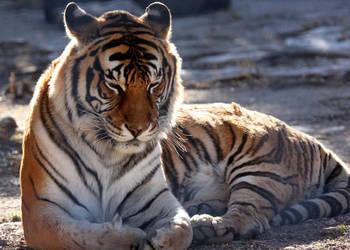 Tiger in Prayer by Jack-13