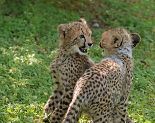 Cheetah Cub Greeting by Jack-13