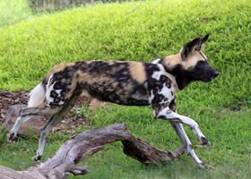 Running Dog by Jack-13