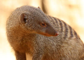 Mongoose Stare by Jack-13