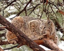 Bobcat in a Tree by Jack-13
