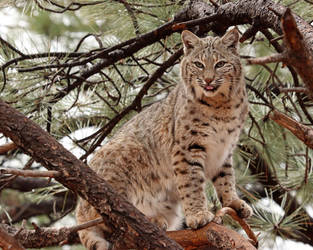 Bobcat Standing Tall with Sass by Jack-13