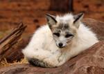 Oldtimer Platinum Fox by Jack-13