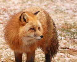 Fox in a Snow Field by Jack-13