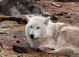 Sleepy Wolf by Jack-13