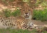 Emotional Cheetah by Jack-13