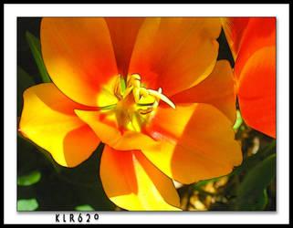 Open Tulip by KLR620
