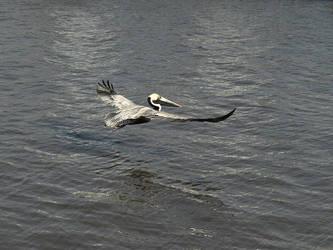 Lafitte Pelican by Kicks02