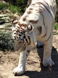 At the Zoo - White Tiger by Kicks02
