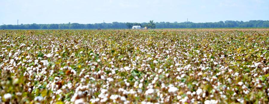 Cotton Fields by Kicks02