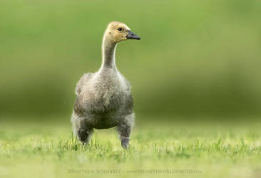 Curious Little Gosling in the Big Wide World by Nature-Photo-Master
