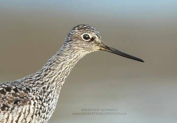 Yellowlegs Portrait by Nature-Photo-Master