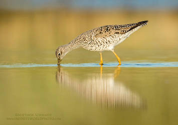 Yellowlegs In Evening by Nature-Photo-Master
