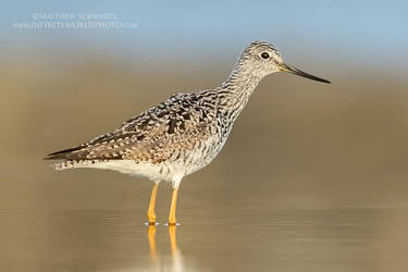 Yellowlegs by Nature-Photo-Master