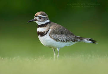 Killdeer by Nature-Photo-Master
