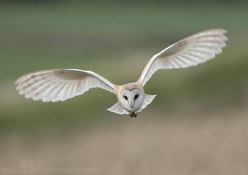 Barn Owl by Albi748