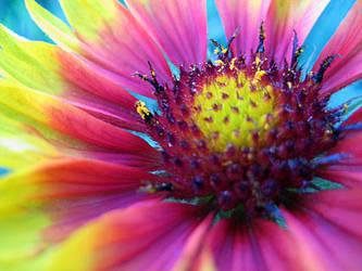 Blanket Flower by spookyspittle