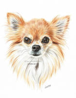 Chihuahua portrait in colored pencil by LeontinevanVliet