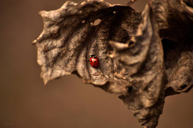ladybug in february by Lk-Photography