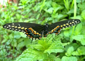 Black Swallowtail by I-rE-nA-216