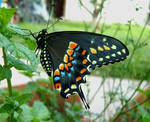 Black Swallowtail Side by I-rE-nA-216