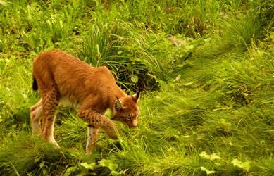 lynx by killerkrabbe