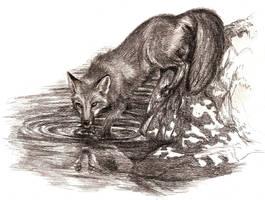 Thirsty Fox by Culpeo-Fox
