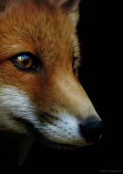 Fox by Culpeo-Fox