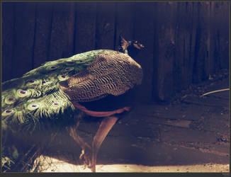 peacock by simonruddphotos
