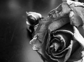 Old Rose by LadyInBlack
