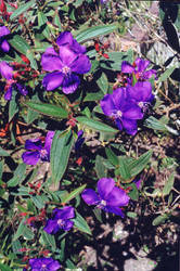 Purple Magnificent by Jogarort