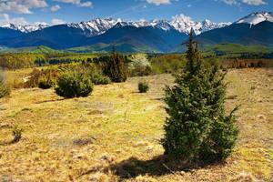 fir tree by iustyn