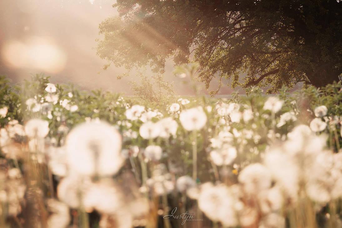 Dandelion by iustyn