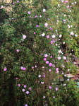 pink roses by ftourini-stock