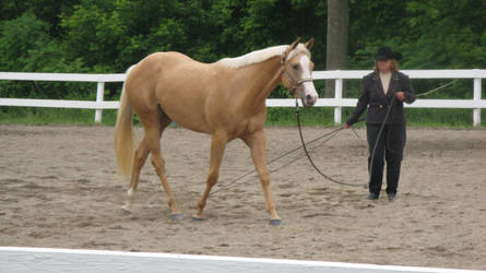Palomino 006 by vorbei-horse-stock