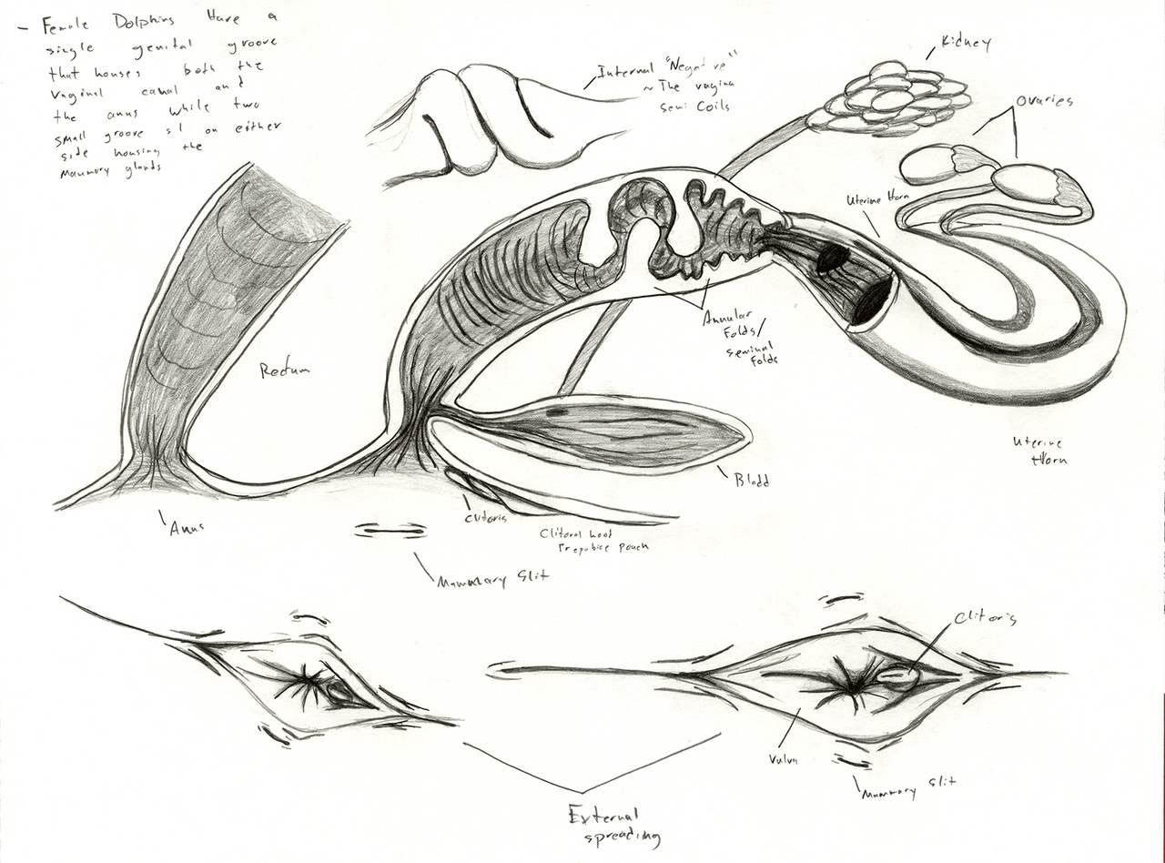 Dolphin Anatomy Female Reproductive System By Adleisio On Deviantart