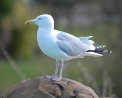 Herring Gull by Lumen-Venator