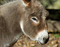 Donkey by Lumen-Venator