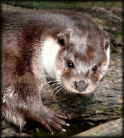 Otter by miirex