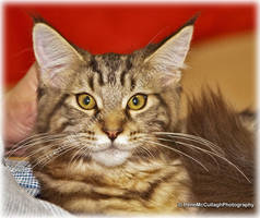 Maine Coon Show Kitten by substar