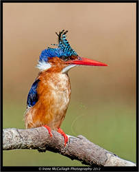 Bad hair day - Malachite Kingfisher by substar